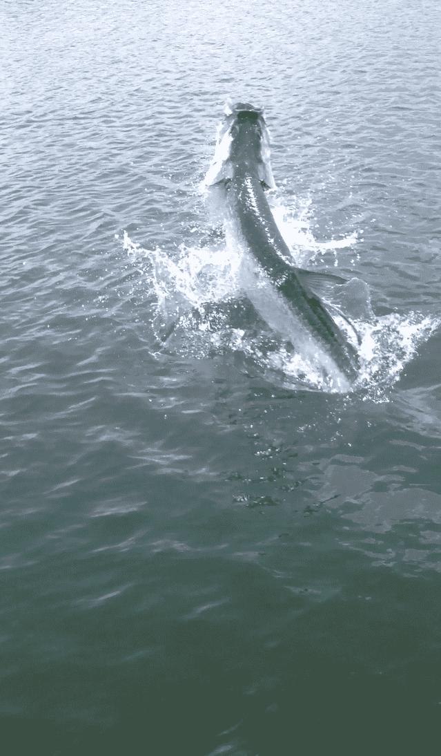 Tarpon fishing tampa quantum cabo 50 pts catches 150 fish for Tarpon fishing tampa