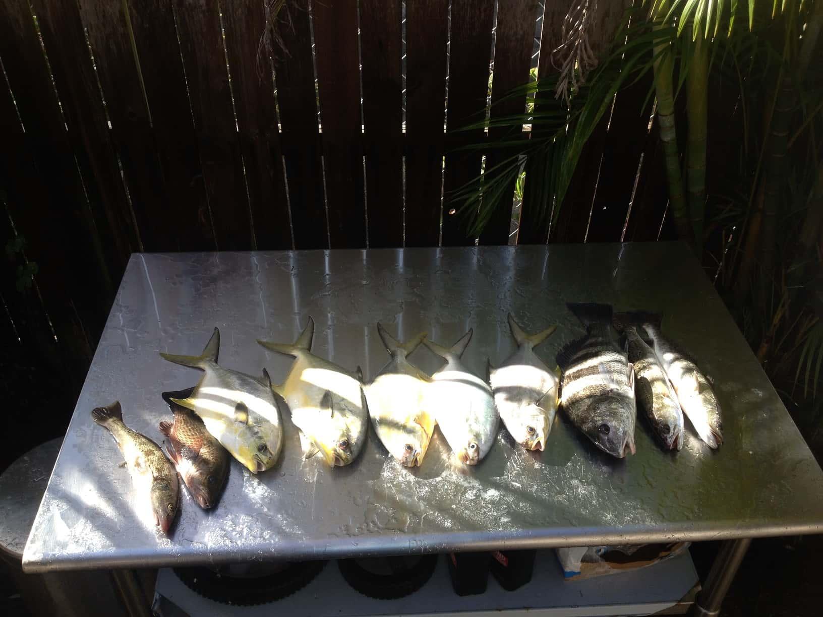 Permit pompano tarpon cobia in tampa bay in november for Whiting fish florida